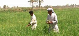 مديرية زراعة المثنى تعلن نجاح تسويق محصول الحنطة والشعير